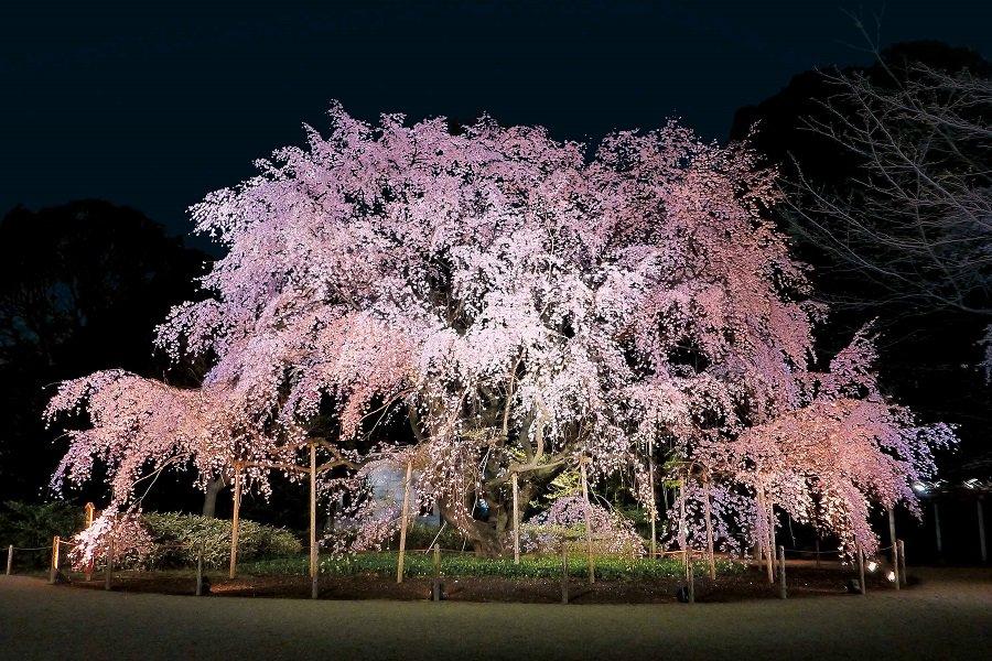 【東京は3月下旬が見頃】夜桜名所&イベント7選!仕事帰りにちょっとお花見して帰ってみよう♪私は桜の木の下で「秒速5センチ