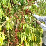 Coffee farmers asked to embrace research