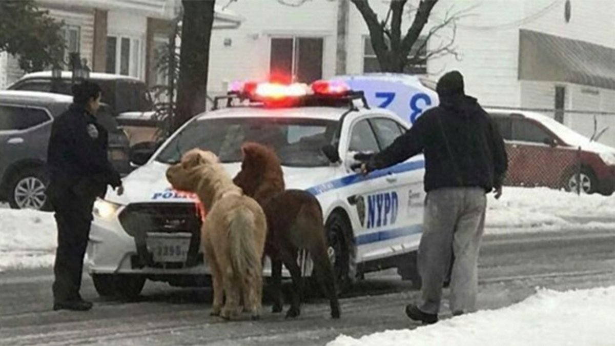These two ponies braved the New York City streets during winter storm Stella via @TODAYshow