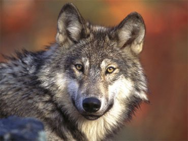 Court ruling lifts protections for Gray wolves in Wyoming