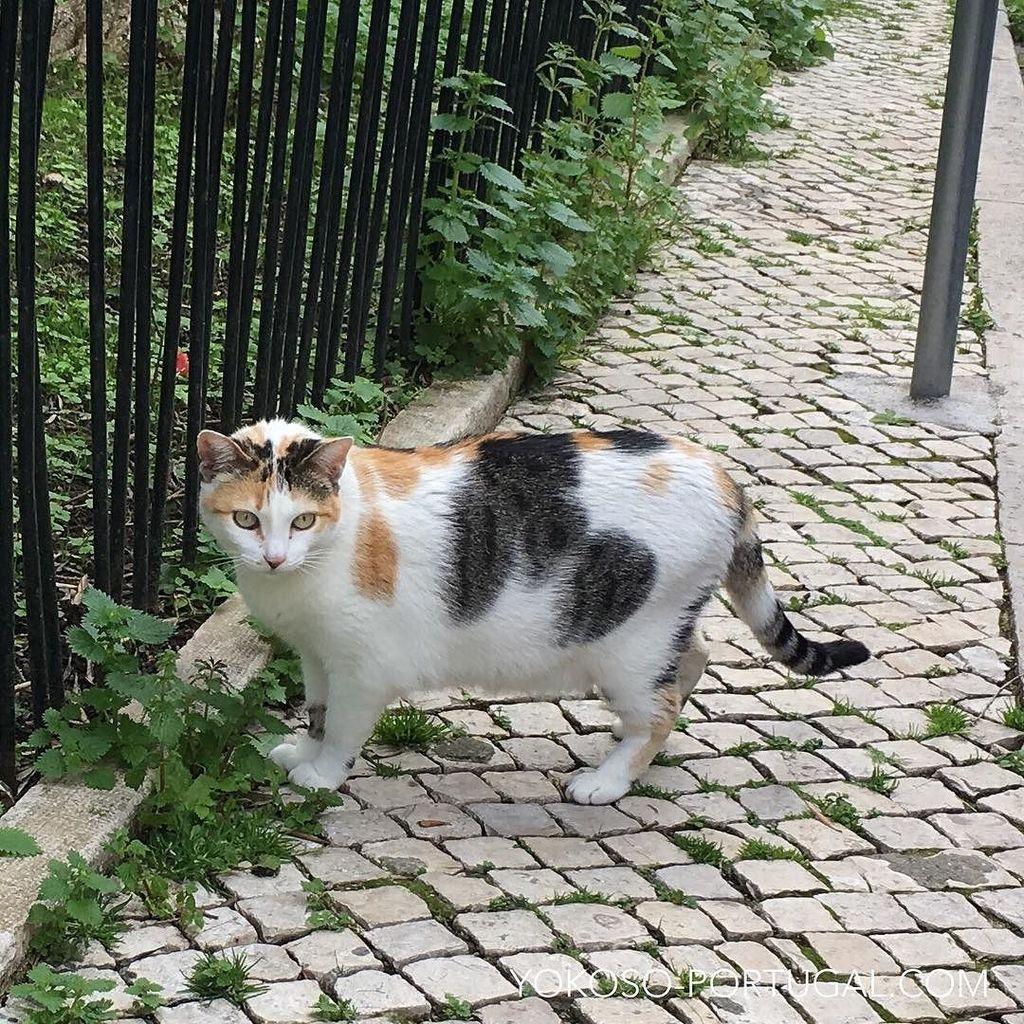 test ツイッターメディア - リスボン、アルファマ地区の三毛猫。ポルトガルの古い石畳には猫が似合います。 #リスボン #ポルトガル https://t.co/BskAQ7KAVo
