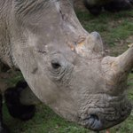 Poachers kill white rhino — at French zoo