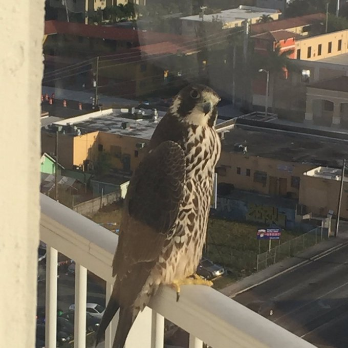 Since I found this #falcon on my balcony I call it the Falcony. 🤣🤣🤣 https://t.co/hzmDZrr3P3