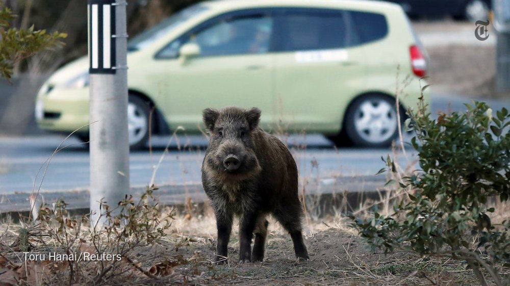 Officials in Fukushima are struggling to clear out radioactive boars from towns https://t.co/coJFp0Fyzv https://t.co/Fpes8frVWo