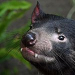 Breakthrough offers hope for Tasmanian devil cancer cure
