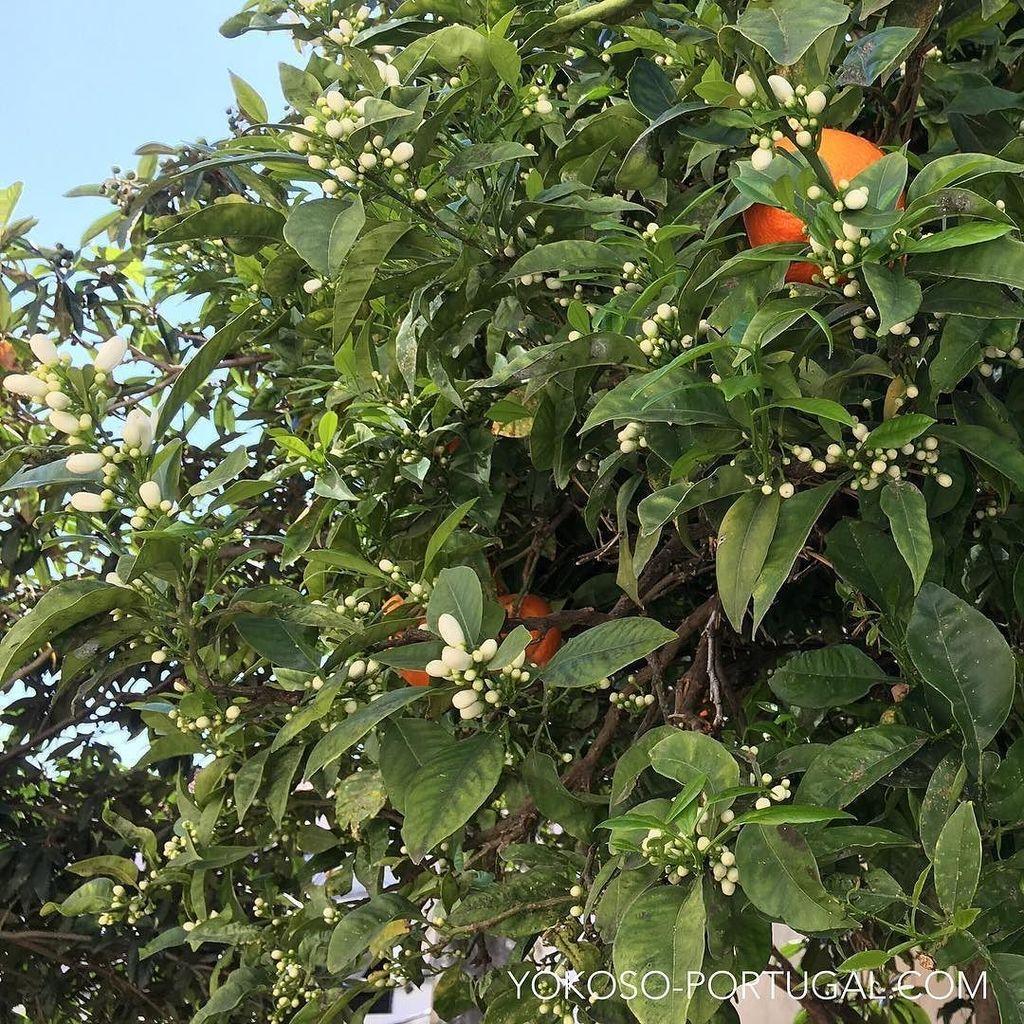 test ツイッターメディア - オレンジの花はとってもいい香りがします。この花の蜜から出来たハチミツは、すがすがしい甘さの上品な味わいです。 #ポルトガル https://t.co/5t68A6gVcv