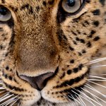 In Big Win For Big Cats, China Approves National Park Larger Than Yellowstone