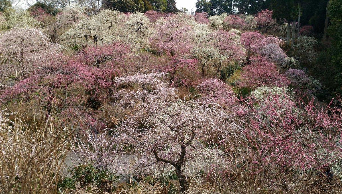 龍尾神社の梅まつりはもうガラスの仮面の梅の谷でしかなく、紅天女気分満喫で最高でございました!
