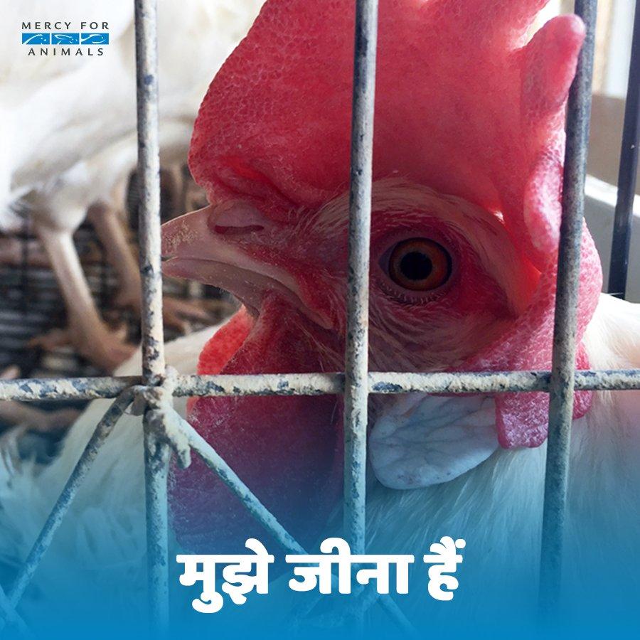 RT @MFA_India: कोई भी जानवर खुद अपना जीवन देकर आपका खाना बनना नहीं चाहता है। दया चुनो और शाकाहारी बनो। https://t.co/C3fMb3tOCi