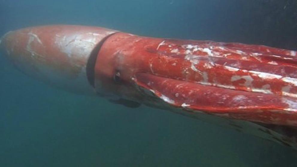 El gigantesco y misterioso animal que vive en las profundidades del océano https://t.co/a93nT8llEL https://t.co/LVaOuRDHkL