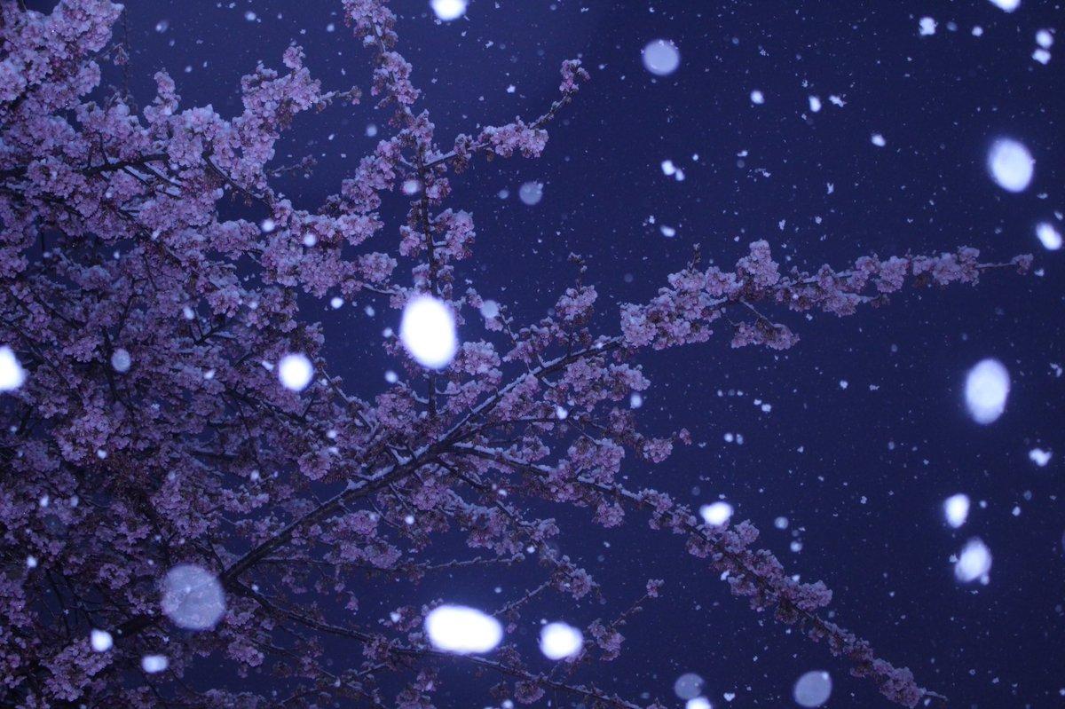 いつしかの桜と雪雪と紅葉に続きこれを見れたのは幸運秒速5センチメートルの「ねぇ、なんだか、まるで雪みたいじゃない?」とい