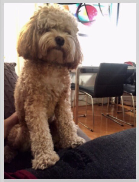NYC MISSING DOG ALERT: 18-lb Cockapoo Hunter missing at 78th/2nd, Manhattan. Please RT. Chip: 985112006067790 Call: 8884663242