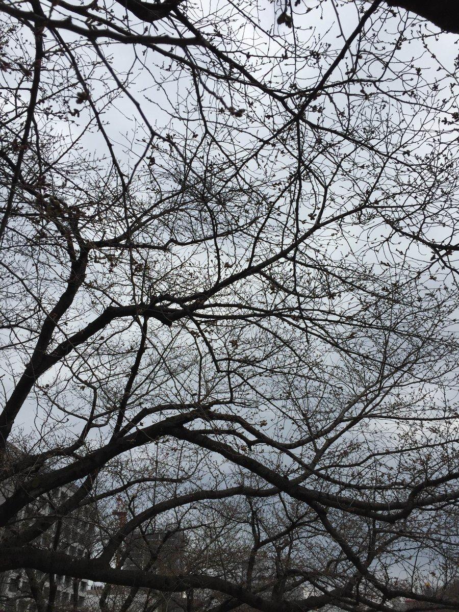 福岡の桜はほぼ枝でした。でも黒田武将隊観れたし柳生新陰流と馬の早駆けも観れたし戦国鳥獣戯画と如水庵のコラボ商品が買えたか