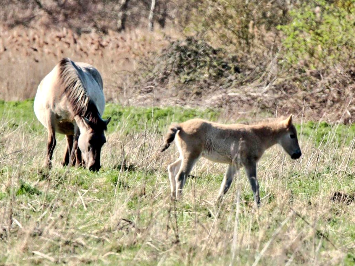 RT @WickenFenNT: Konik pony and foal photographed yesterday #ponies https://t.co/I64NAsH155