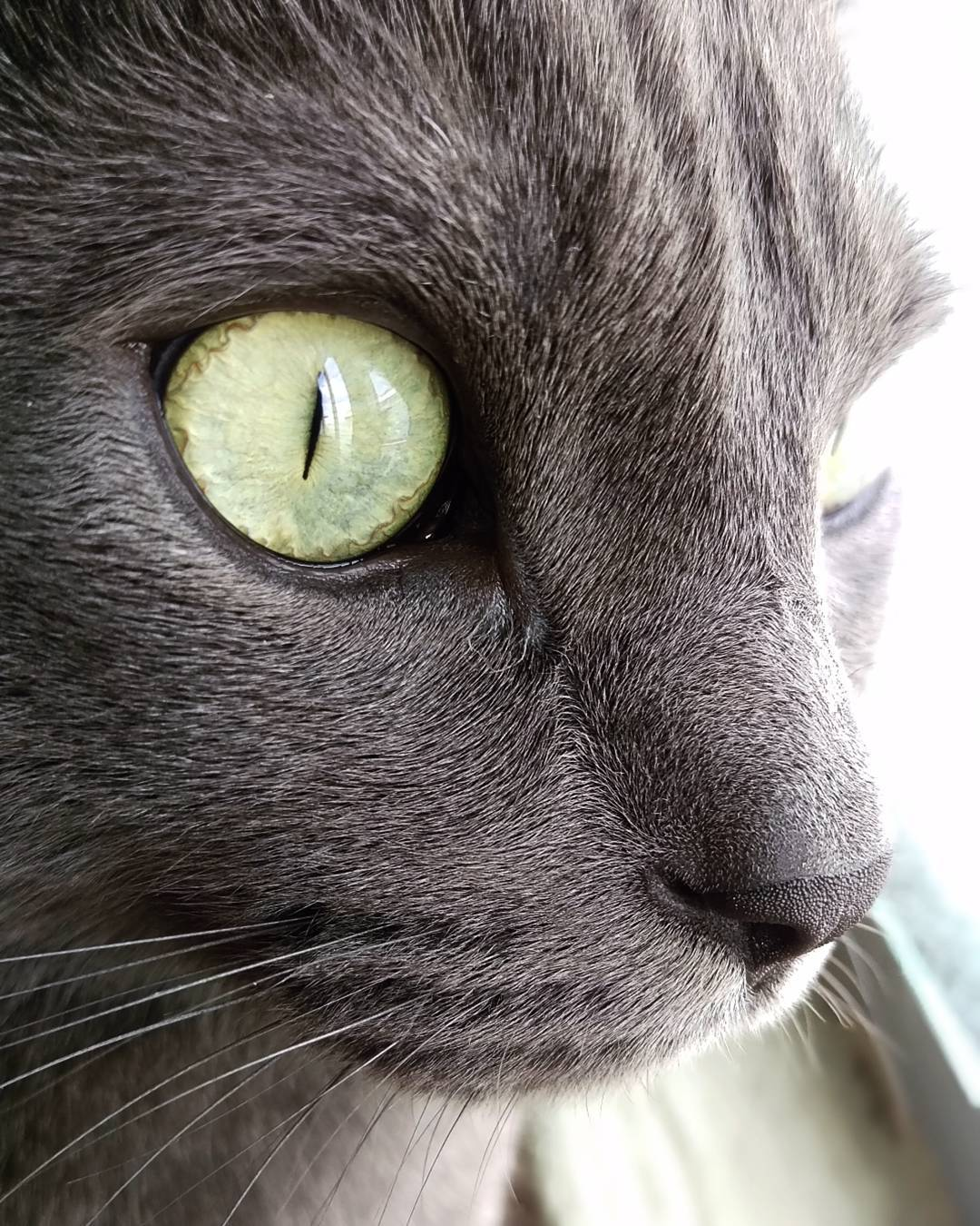 This beautiful Russian Blue cat captured on Clau S.'s #HTC. #ShotonHTC https://t.co/xK9LJcN2DU