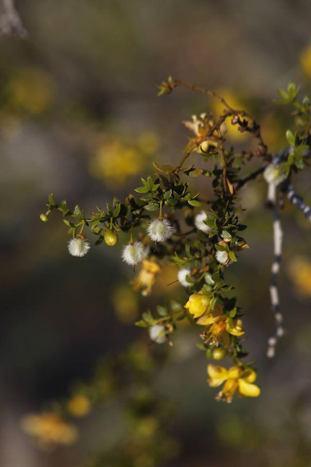 La Gobernadora Larrea Tridentata Es Una Planta Medicinal De Flores