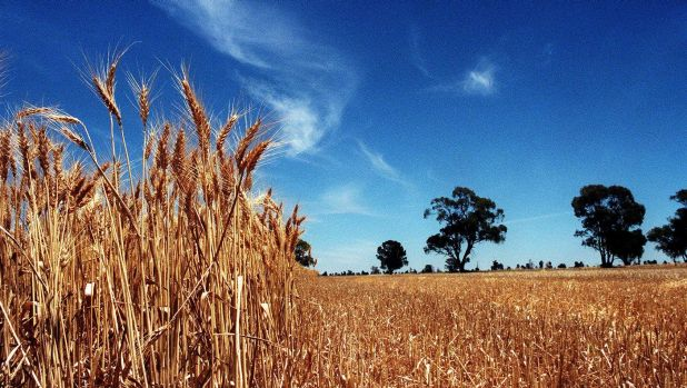 Soaring wheat production to fuel GDP growth in 2017