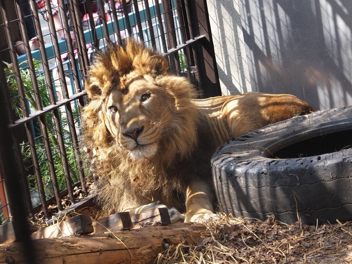 【最近のライオン「ラージャー」】桜の季節が待ち遠しいのか、お肉が欲しいのか、3月のライオン、よく鳴いています。春休みにぜ