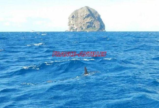 Un requin-marteau aperçu au large du Diamant