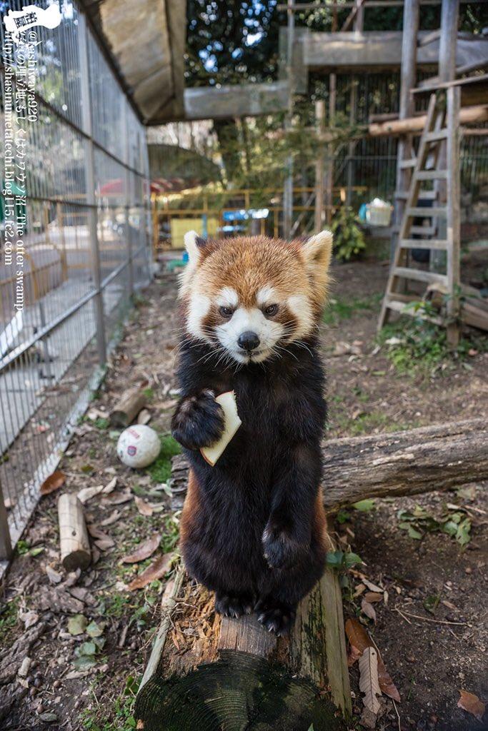 池田動物園のレッサーパンダ。確かしずくちゃんだったっけ?目の前でリンゴはみはみしてる仕草はとにかく可愛かったけど、カワウ