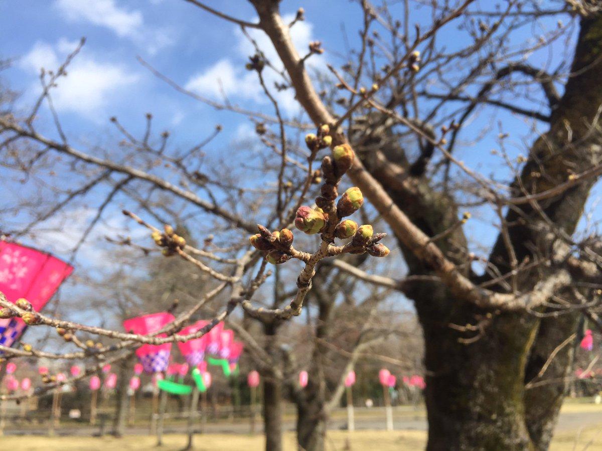 東京では桜の開花宣言があったま♪ 飯能の桜の名所であり、「ヤマノススメ」でもおなじみの中央公園では「飯能さくらまつり」の