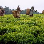 Tea farmers to get relief from new tea breed