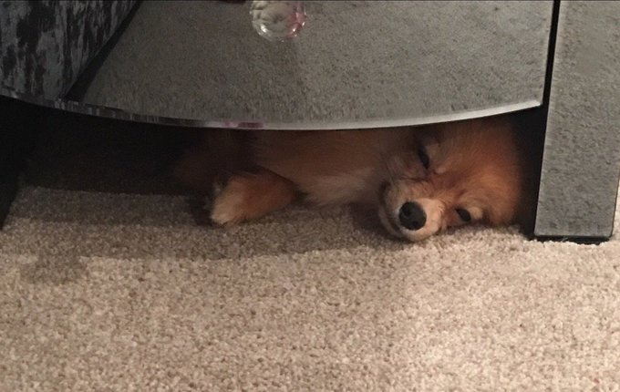 #NationalPuppyDay heres my little man sleeping under the table ❤😍 https://t.co/EhvyasWzLh