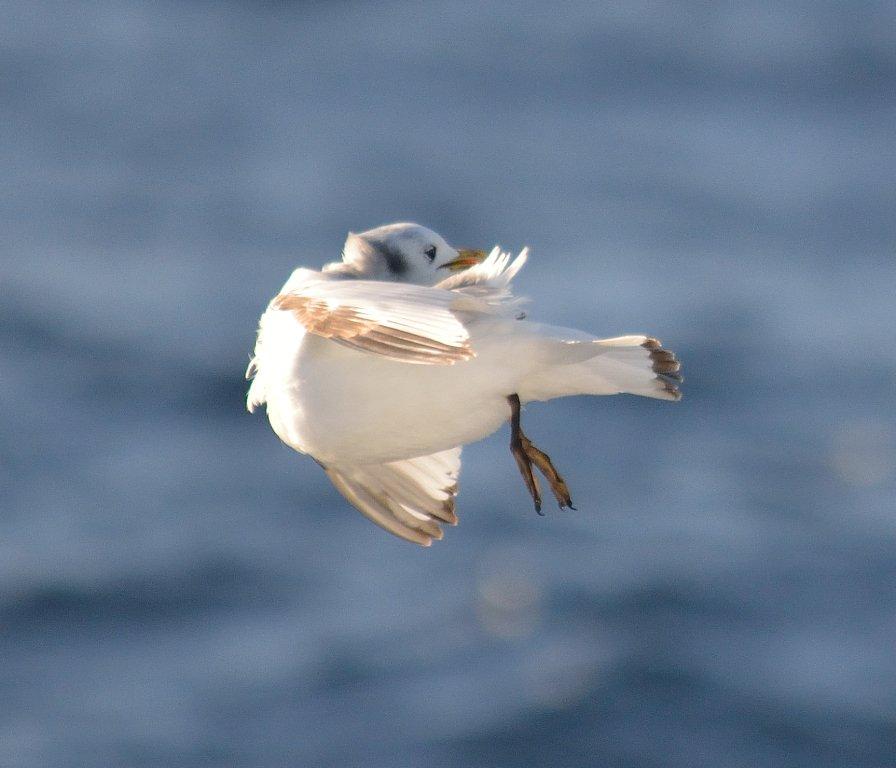 test Twitter Media - more juv #kittiwake shots preening mid-flight, & impersonating a pigeon! #seabirds #rockall #bwas2017 @MaREIcentre @Havforskningen https://t.co/LA0D5lIX9z