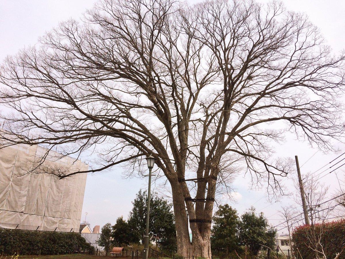 劇場となるアトリエの目の前には、樹齢200年にもなる大きなケヤキの木があるんです。トトロの木とも呼ばれてるんですって。一
