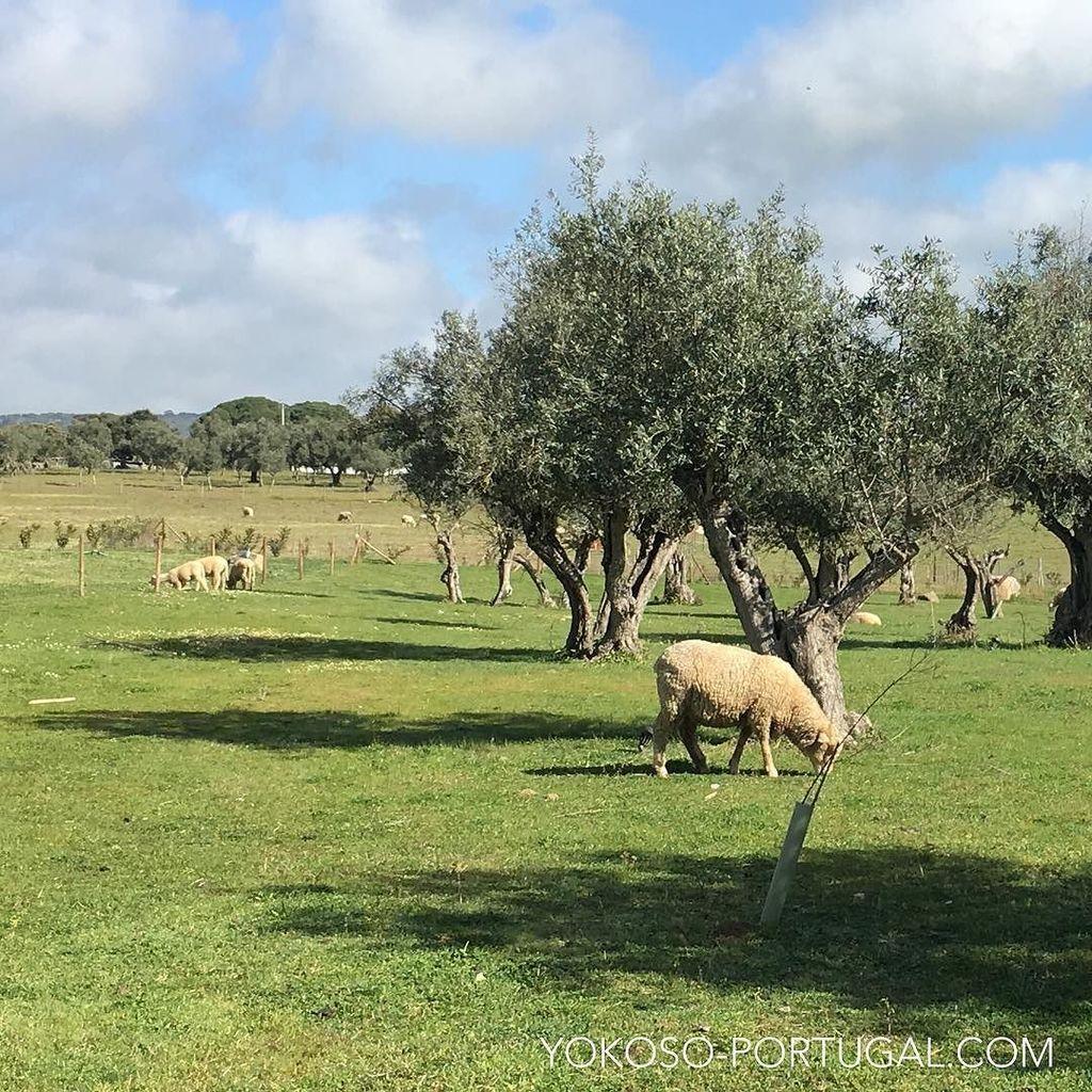 test ツイッターメディア - アレンテージョ地方の平和な風景。 #アレンテージョ #ポルトガル https://t.co/uRFRHbdkCk