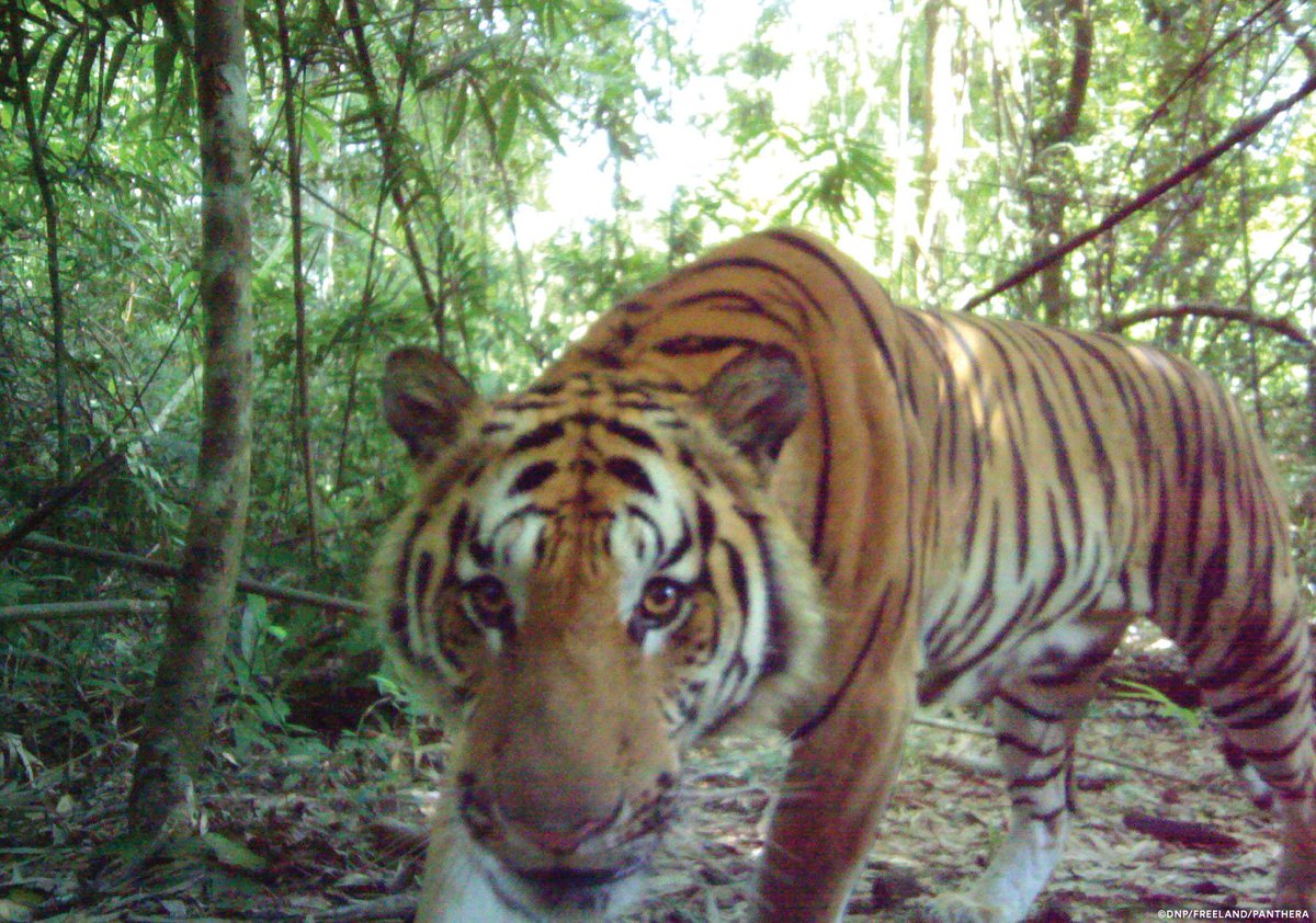 Here's some good news: The critically endangered Indochinese tiger is breeding in the jungles of eastern Thailand.  And we've got pictures: