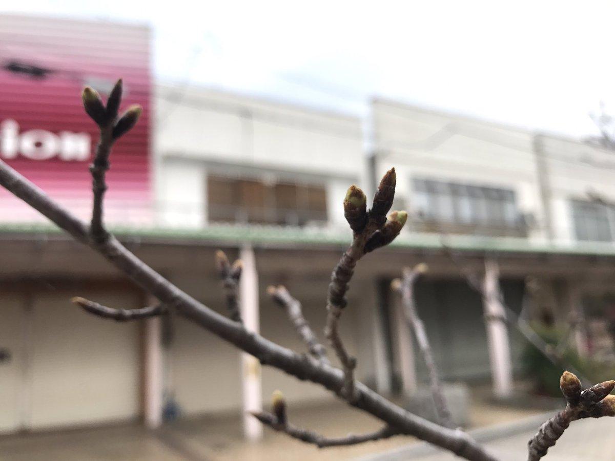 だいぶ膨らんできました。木の上の方は1cmくらいに見えますね。#tamayura #あいふる316