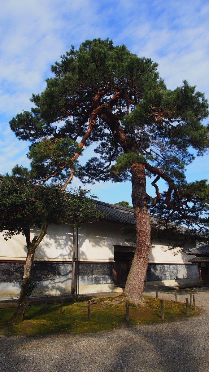 北方文化博物館の「ジョジョ立ち松」、と、なかの人が勝手に命名してる松です。どこかデイダラボッチが伊藤邸で松になったときに