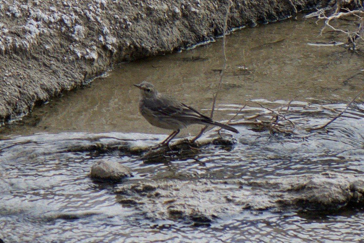 test Twitter Media - Spragues pipit - I think - seen at Salt Creek in Death Valley National Park https://t.co/1YRqNIjMeB