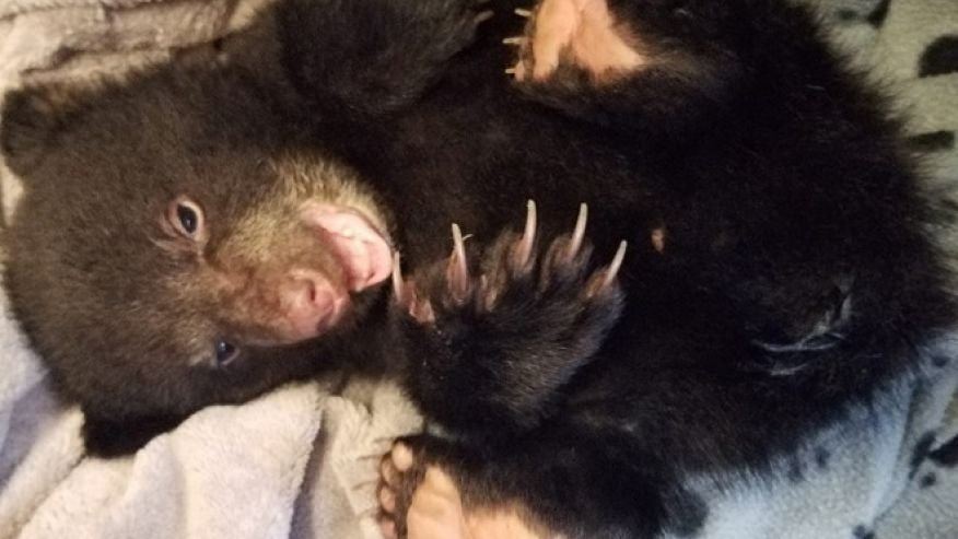 Oregon hiker takes dehydrated black bear cub to wildlife rehab center