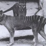 In search of the Tasmanian Tiger