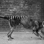 Ghost of the Tasmanian Tiger: Scientists Investigate Sightings