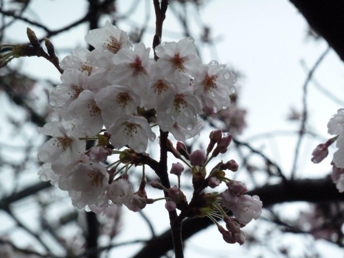 桜の様子を見に行きました🌸#にゃんぼー#RYAN_DANBOARD_LOVE♥