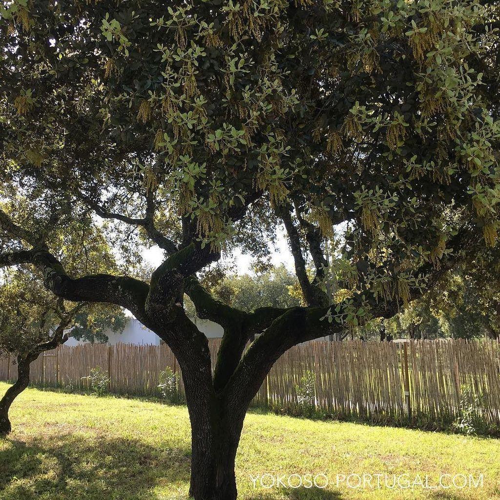 test ツイッターメディア - コルクの木の花。世界中のコルクの50%以上はポルトガル産です。 #アレンテージョ #ポルトガル https://t.co/1Ueqt7HJOk