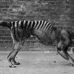 Tasmanian Tiger Sightings: Thylacine Could Be Among Animals Mistaken As Extinct