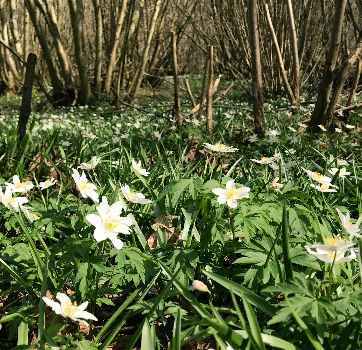 WoodLand Walks #Anenome #AncientWoodland ???? https://t.co/VyavYCg3lQ