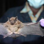 MERS-like coronavirus identified in Ugandan bat—New virus not likely to spread to humans