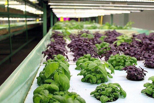 Выращивание базилика на гидропонике бизнес план