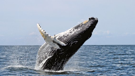 A beacon of hope for humpbacks