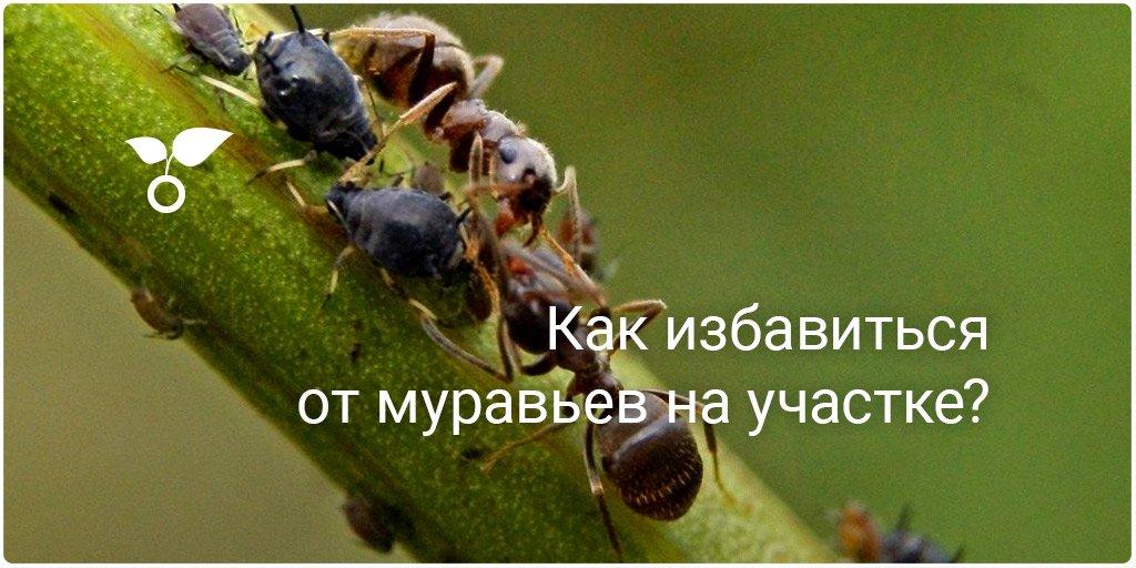 Как избавиться от муравьёв в доме
