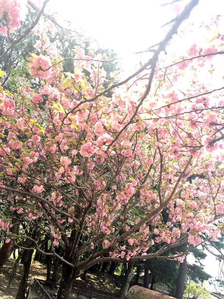 バイトサボって便意に耐えつつTo LOVEるの女の子の下着ばりにピンクな桜撮るなりしてる。