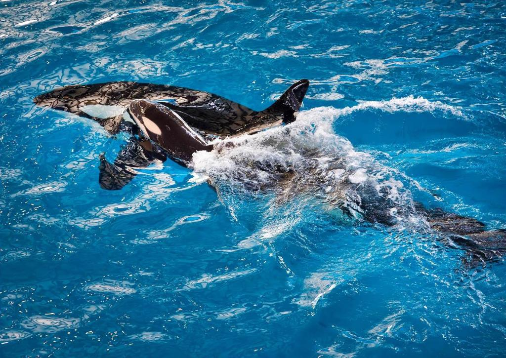 The #baby #orca has arrived! Help us welcome the last orca to be born at #SeaWorld!