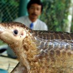 How to save the world's most trafficked mammal