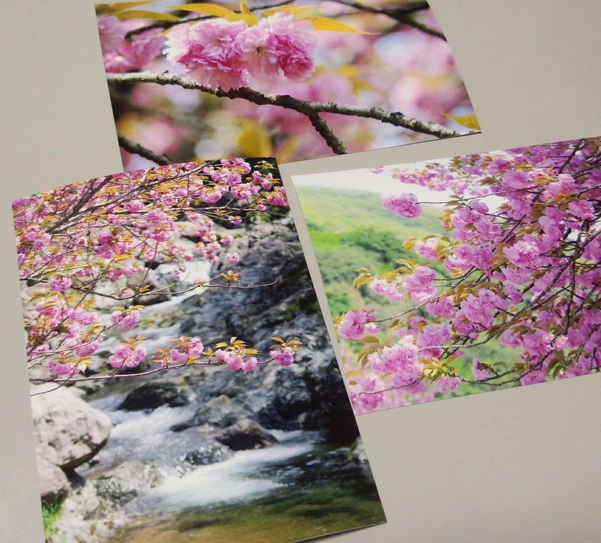 眼レフ持って行ったから撮った写真実家に送ろうと思ってプリントアウトしたの。桜だけれど、ちょっと『ガラスの仮面』に出てくる