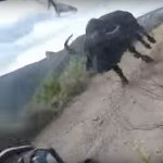 Talk about a close shave... Bikers charged by buffalo in the Baviaans